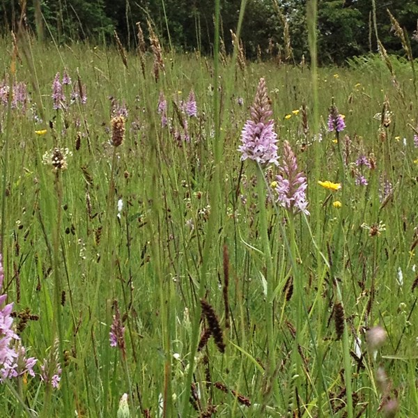 Orchids in the meadow