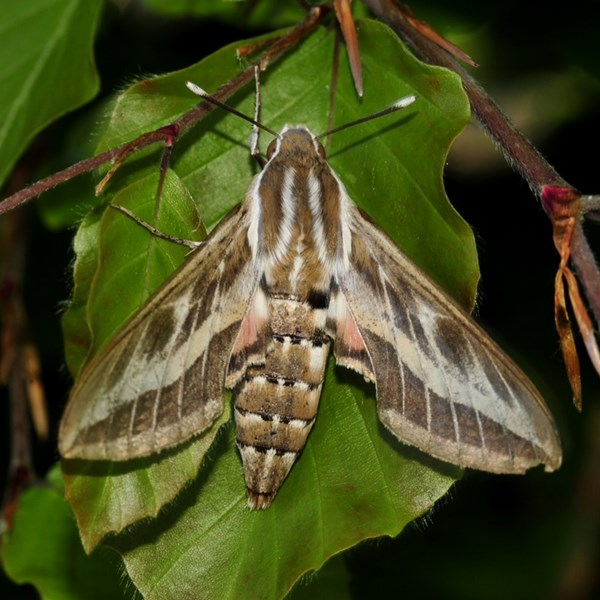 Striped hawk-moth.