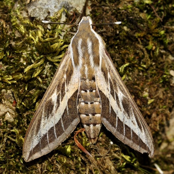 Striped hawk-moth 2015