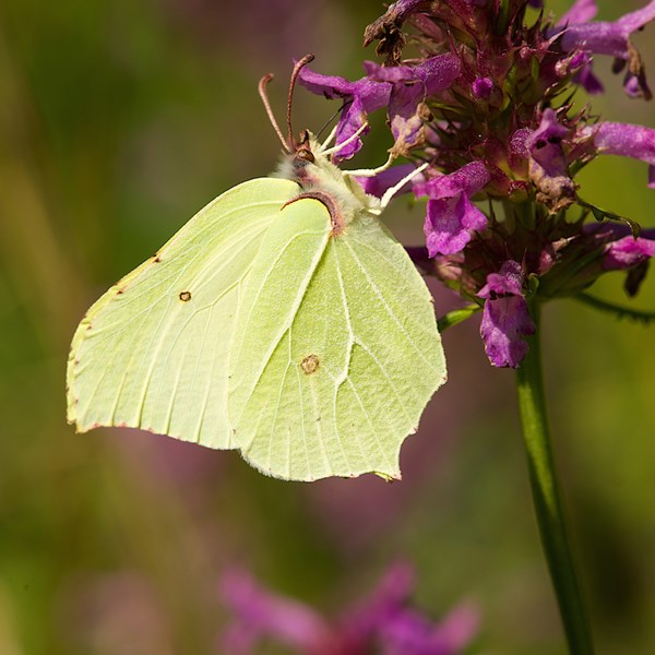 Brimstone on betony by EBJ