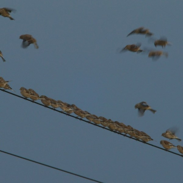 Flock of linnets by EBJ