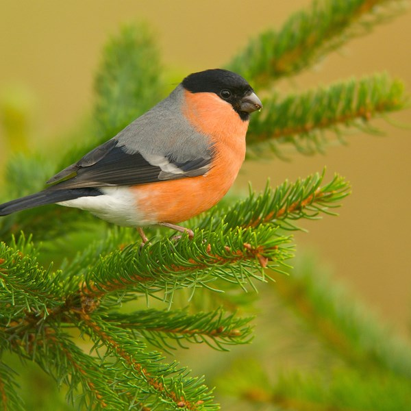 Bullfinch in pine by EBJ