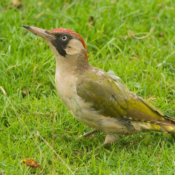 Female green woodpecker by EBJ