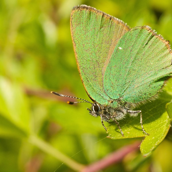 Green hairstreak by EBJ
