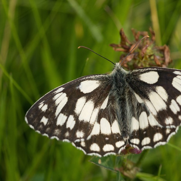 Marbled white by EBJ