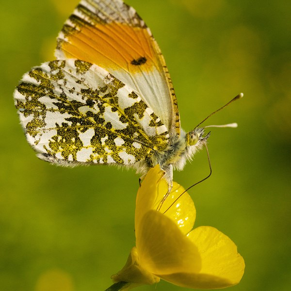 Male orange tip on buttercup by EBJ