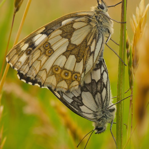 Mating marbled whites by EBJ