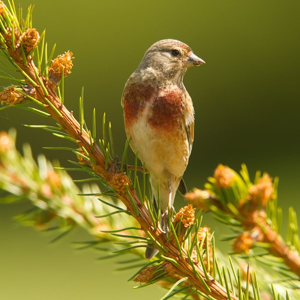 Spring male linnet by EBJ