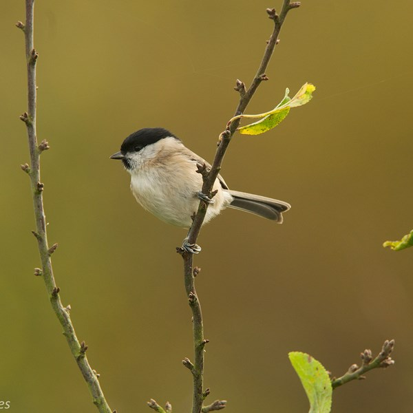 Marsh tit on plum by EBJ