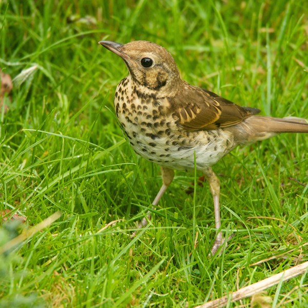 Song thrush by EBJ
